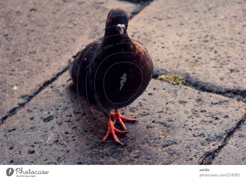 """""""was ist?!"""", denkt sie. Natur weiß rot Tier schwarz Stein braun Platz Vertrauen Fuge Taube Venedig Krallen Steinplatten"""