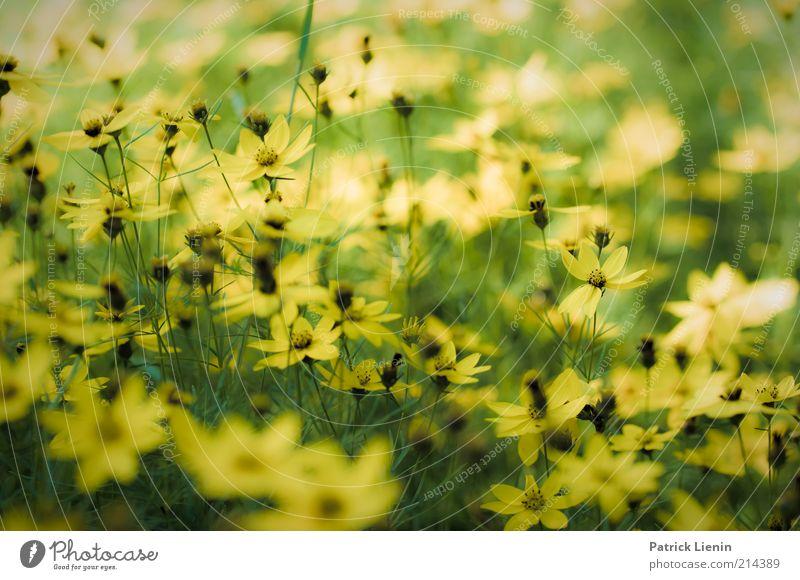Traumland Natur schön Blume Pflanze Sommer gelb Wiese Blüte hell Wetter Umwelt frisch mehrere authentisch Klima Duft