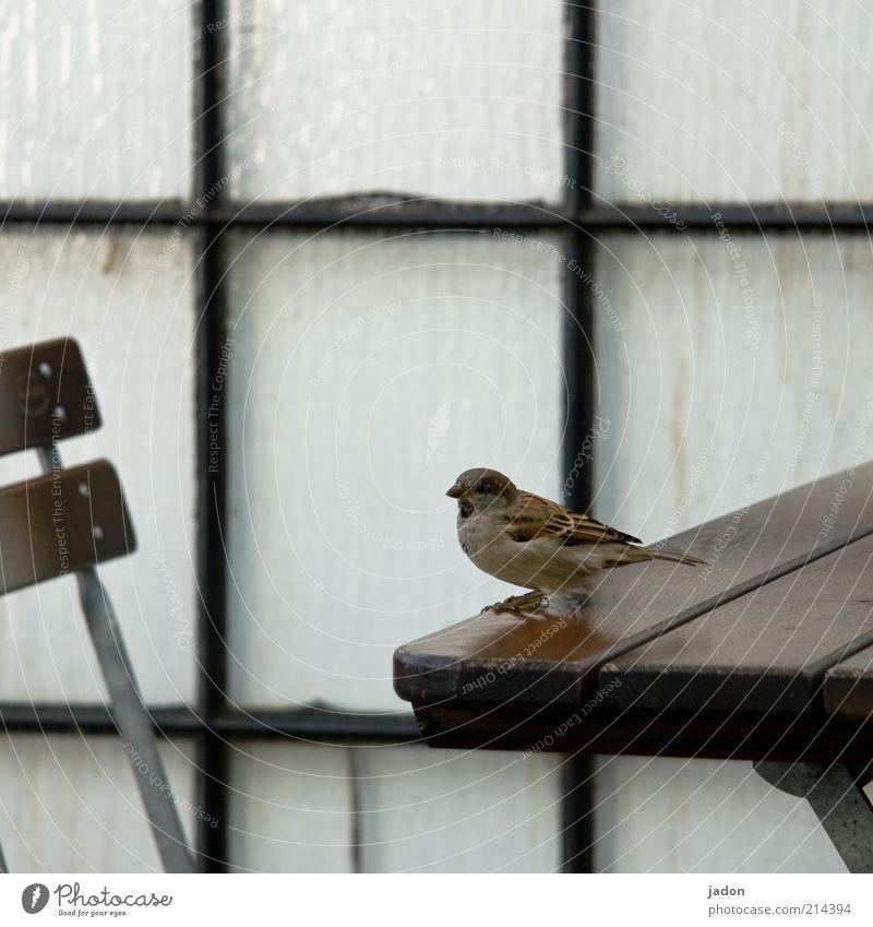 warten auf herrn k. Stuhl Mauer Wand Tier Wildtier Vogel 1 sitzen frech Tisch Spatz Biergarten Gast Gastronomie Blick Glas Glaswand Glasbaustein Fuge Holz