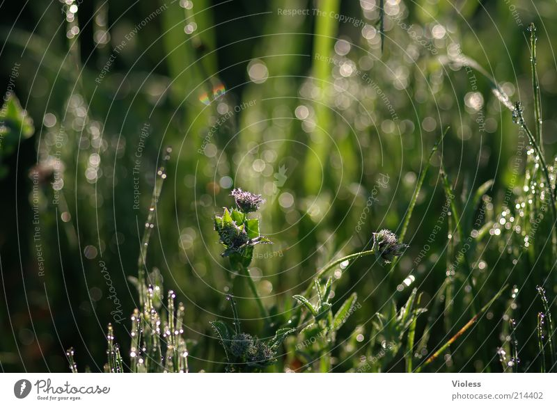 Tauglitzern Natur grün Pflanze Sommer Wiese Gras glänzend nass Wassertropfen frisch Tropfen Frühlingsgefühle Makroaufnahme Gräserblüte
