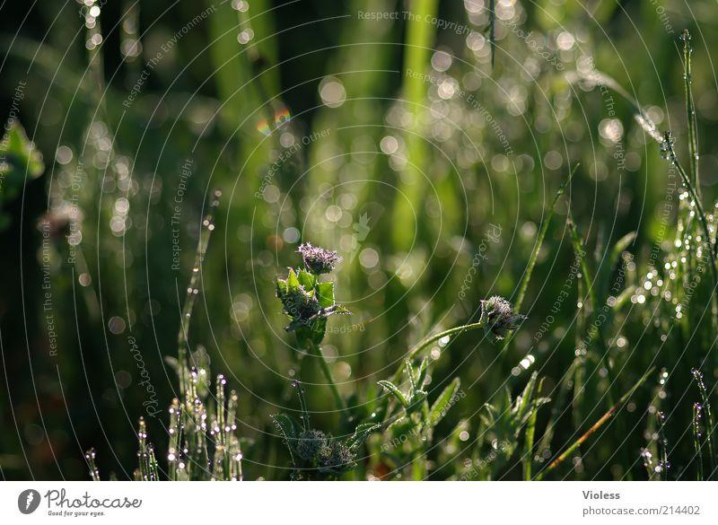 Tauglitzern Natur Pflanze Wassertropfen Sommer Gras Tropfen glänzend frisch nass grün Frühlingsgefühle Wiese Farbfoto Außenaufnahme Nahaufnahme Makroaufnahme