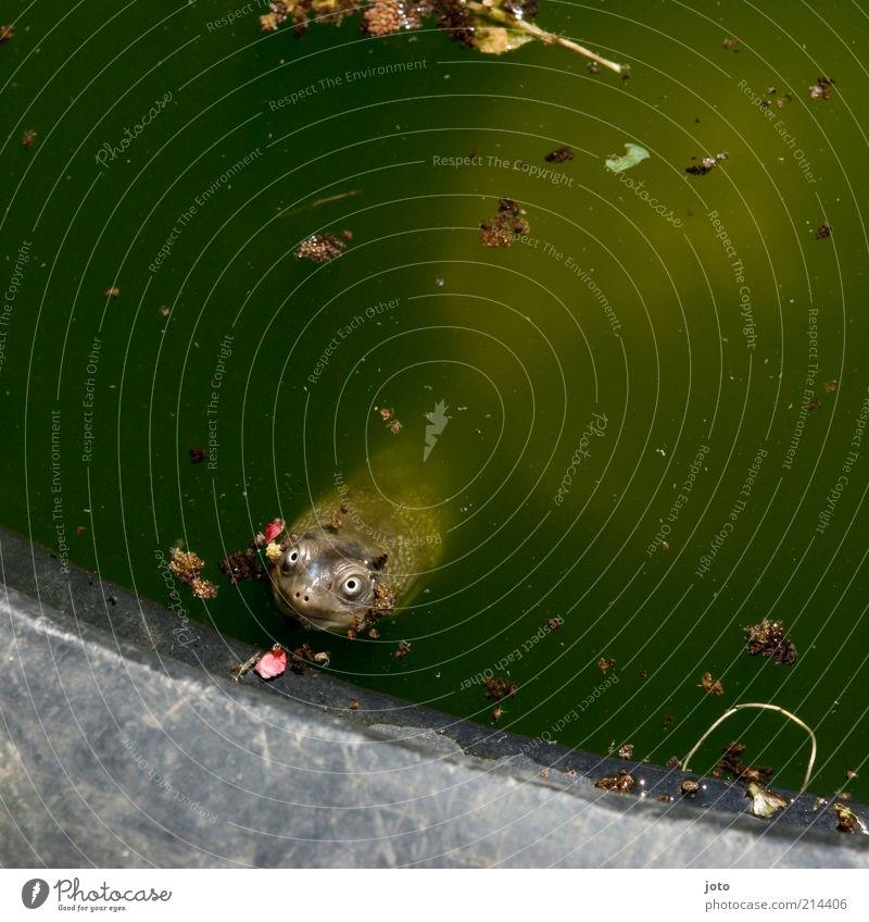 Hypnoseversuch Natur Tier Sommer Teich Haustier Schildkröte Blick frech lustig niedlich Flirten beobachten Schildkrötenpanzer Wasser grün schön Gute Laune
