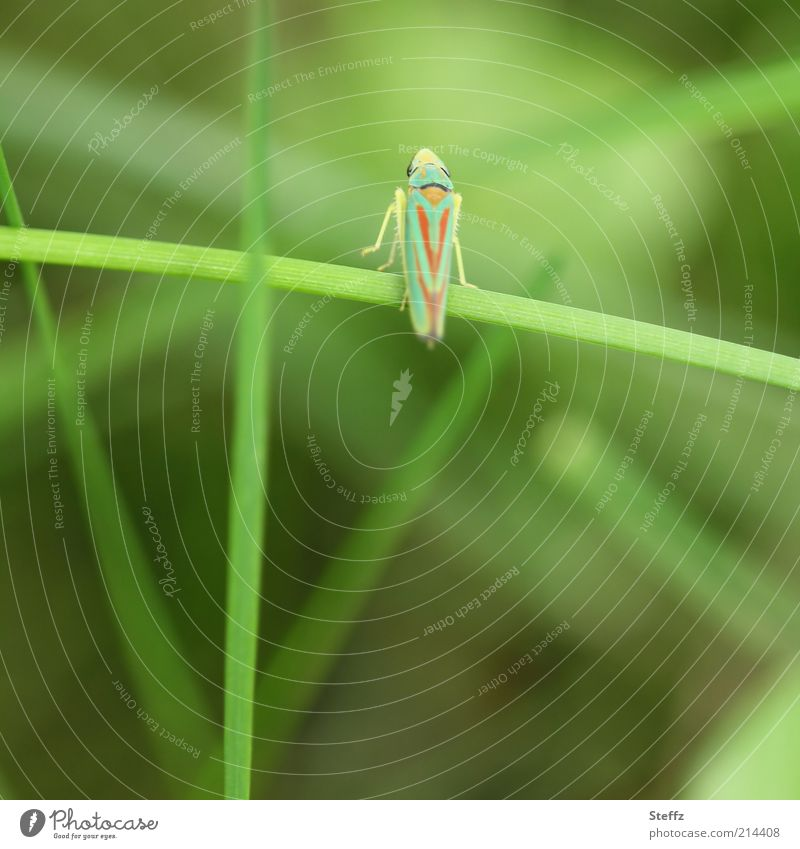 Sekundenfoto Umwelt Natur Sommer Pflanze Gras Halm Tier Zikade Insekt Beine 1 klein natürlich schön grün Leben Leichtigkeit leicht schnelllebig grasgrün