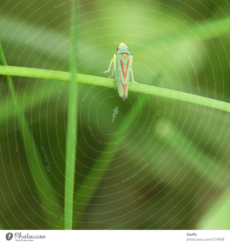 Sekundenfoto - Zikade auf dem Sprung winzig anders Insekt Momentaufnahme leicht Leichtigkeit Grashalm Rhododendronzikade klein Insektenbeine gestreift grün