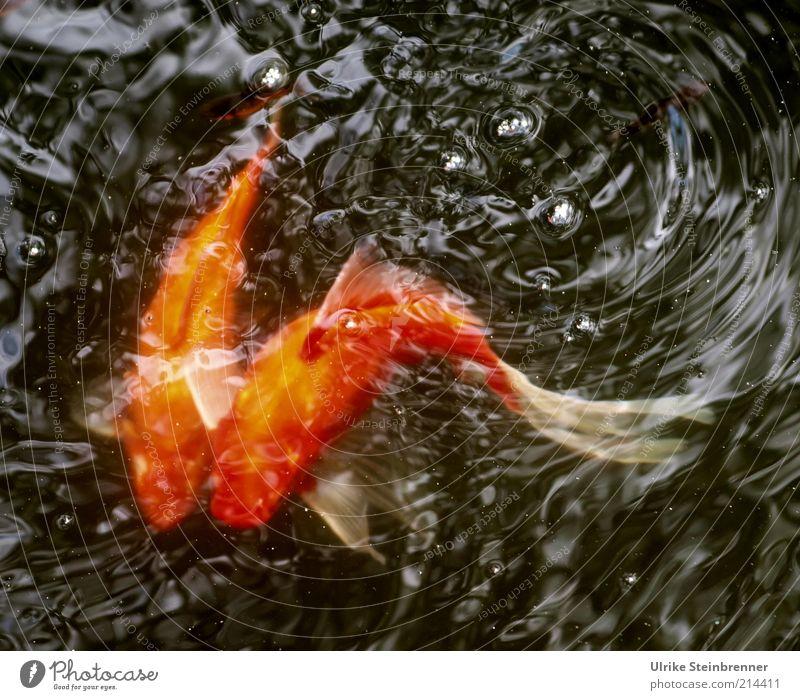 Wild Wedding Whirl Goldfisch wild Verwirbelung Zusammensein 2 Paar Brunft Tier Becken Teich Wasser Karpfen Haustier Cyprinidae Schwanz Kurve gekrümmt orange