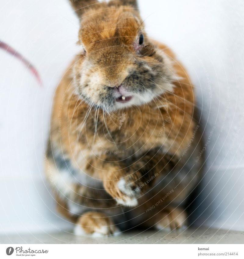 Hände reiben Tier Haustier Tiergesicht Fell Krallen Pfote Hase & Kaninchen Zwergkaninchen Winterfell 1 Blick sitzen alt niedlich braun Osterhase Farbfoto