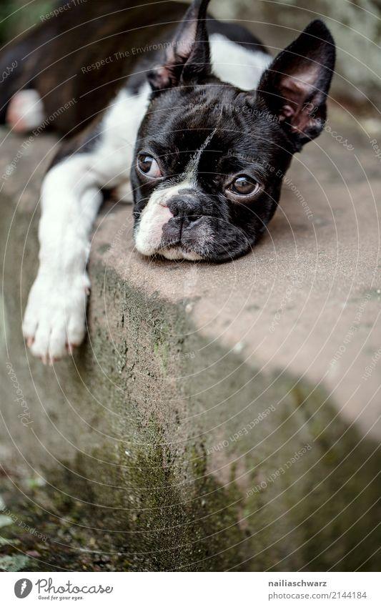 Boston Terrier Portrait Hund Sommer Erholung Tier Freude Tierjunges Wärme natürlich Stein Zufriedenheit Treppe genießen Fröhlichkeit niedlich beobachten Beton