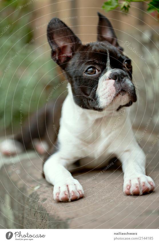 Boston Terrier Portrait Sommer Wärme Treppe Tier Haustier Hund Tiergesicht 1 beobachten Erholung liegen Blick warten Freundlichkeit Fröhlichkeit kuschlig