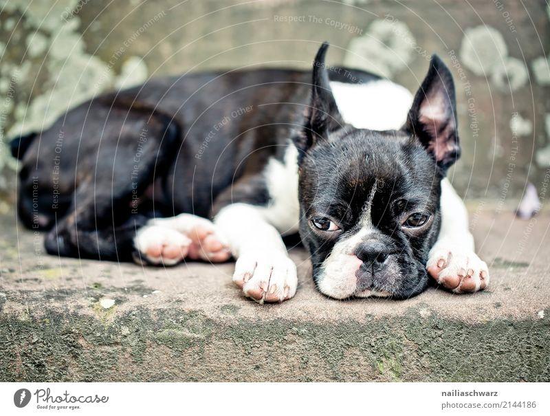 Boston Terrier Zufriedenheit Erholung Sommer Wärme Treppe Tier Haustier Tiergesicht 1 Stein Beton beobachten schlafen Traurigkeit Freundlichkeit schön kuschlig