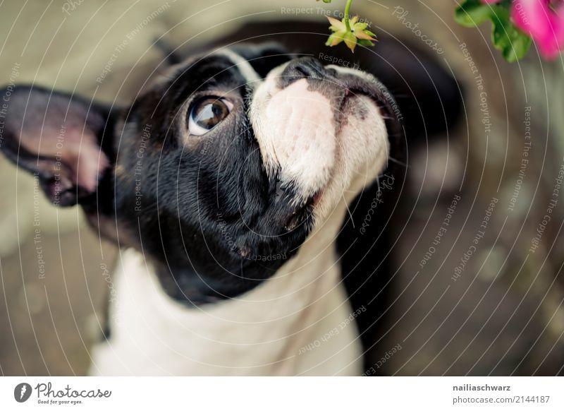 Boston Terrier Sommer Wärme Blume Tier Haustier Hund Tiergesicht französische Bulldogge 1 beobachten Blick Duft elegant Fröhlichkeit lustig natürlich Neugier