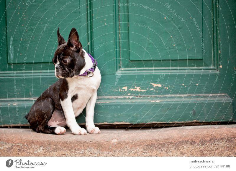 Boston Terrier Hund Sommer Tier Haus Wärme Holz Stein Zufriedenheit elegant Tür Idylle sitzen Fröhlichkeit warten niedlich beobachten