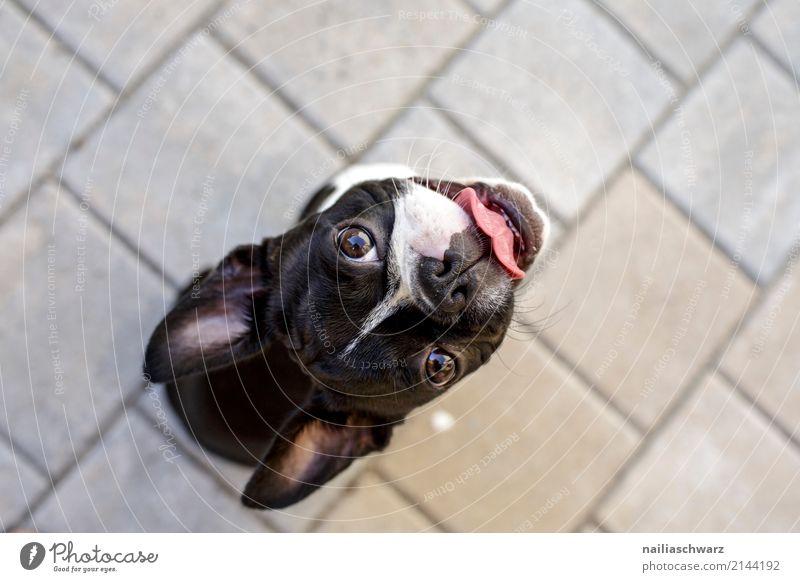 Boston Terrier Sommer Wärme Tier Haustier Hund französische Bulldogge 1 Tierjunges Stein Beton beobachten genießen Blick sitzen warten Coolness Freundlichkeit