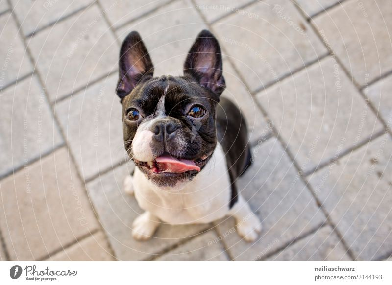 Boston Terrier Portrait Hund Sommer schön Tier Wärme natürlich Glück Stein Stimmung Idylle Fröhlichkeit warten lernen niedlich beobachten Freundlichkeit