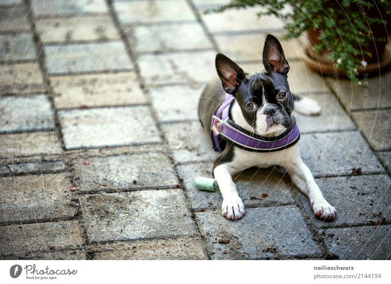 Boston Terrier Hund Sommer Erholung Tier Freude Tierjunges Wärme Traurigkeit natürlich Glück Stein träumen liegen elegant niedlich beobachten