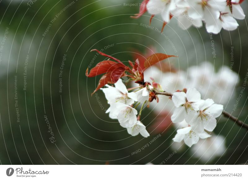 Sakura Natur Pflanze Baum Blatt Blüte schön Kirschblüten Japan Ast weiß Frühling Hanami Blühend Wachstum Außenaufnahme Textfreiraum links Zweige u. Äste