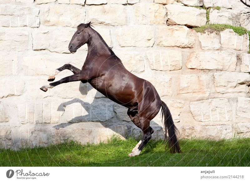 Schöner schwarzer Hengst steigt Mauer Wand Tier Haustier Pferd springen Rappe glänzend steigen Spielen galoppieren Freiheit Poster hoch groß Verhalten