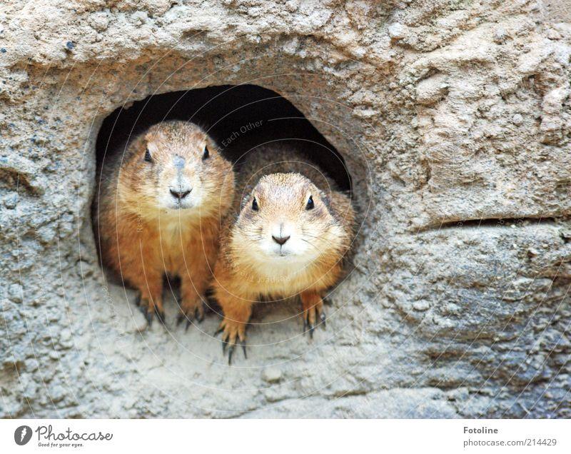 Lächeln Schatz lächeln! Umwelt Tier Urelemente Erde Wüste Wildtier Tiergesicht Fell Pfote 2 Tierpaar sitzen Erdmännchen Blick Höhle Erdhöhle Farbfoto mehrfarbig