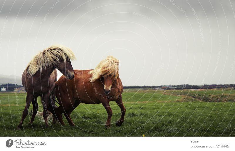 Wilde Hilden Umwelt Natur Landschaft Tier Himmel Wolken Horizont Wind Wiese Nutztier Wildtier Pferd 2 Tierpaar laufen ästhetisch natürlich wild Stimmung Mähne