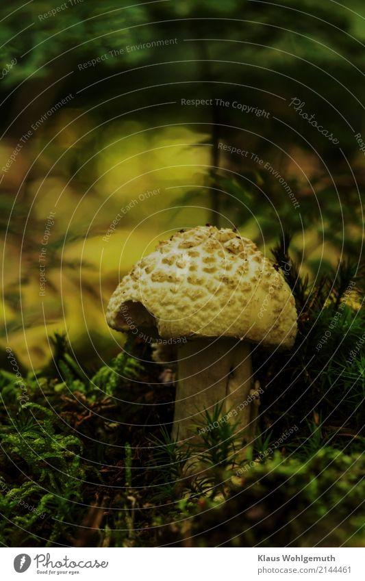 Giftzwerg Lebensmittel Pilz Umwelt Natur Sommer Herbst Moos Wald stehen Wachstum wild braun gelb grün schwarz Idylle Knollenblätterpilz Farbfoto Außenaufnahme