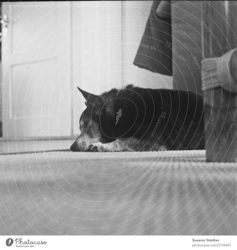 dösen Hund alt Tier Erholung grau Traurigkeit träumen Tür schlafen Tiergesicht Sofa hören Wohnzimmer Haustier Sorge Teppich