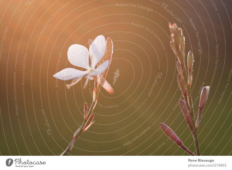 Spätsommer Blümchen Natur schön weiß Blume Pflanze Sommer Farbe Blüte Stimmung hell klein Umwelt violett natürlich Duft Blütenknospen