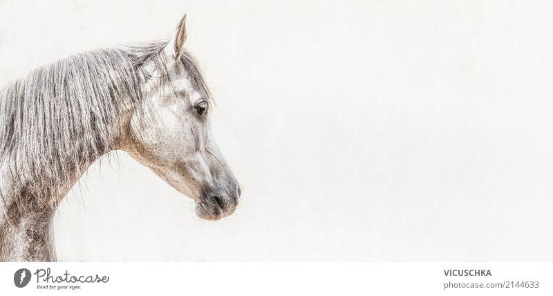 Porträt von Vollblutaraber Pferdekopf Lifestyle Tier 1 Fahne Energie Hintergrundbild weiß grau Farbfoto Außenaufnahme Nahaufnahme Textfreiraum rechts