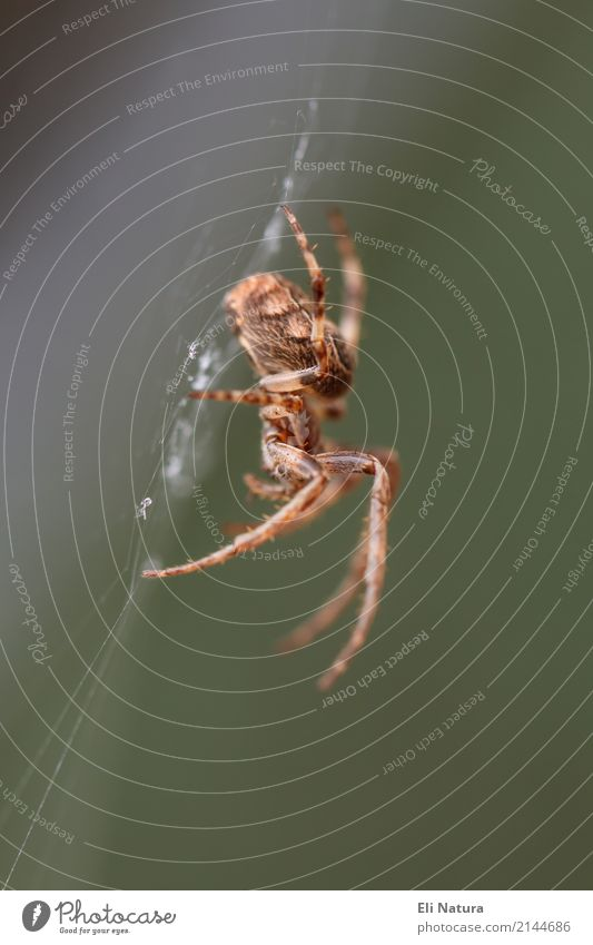 Am Netz Natur Garten Park Wiese Wald Tier Wildtier Spinne Kreuzspinne Heimat 1 berühren Bewegung bedrohlich gruselig Angst Entsetzen Todesangst Umweltschutz