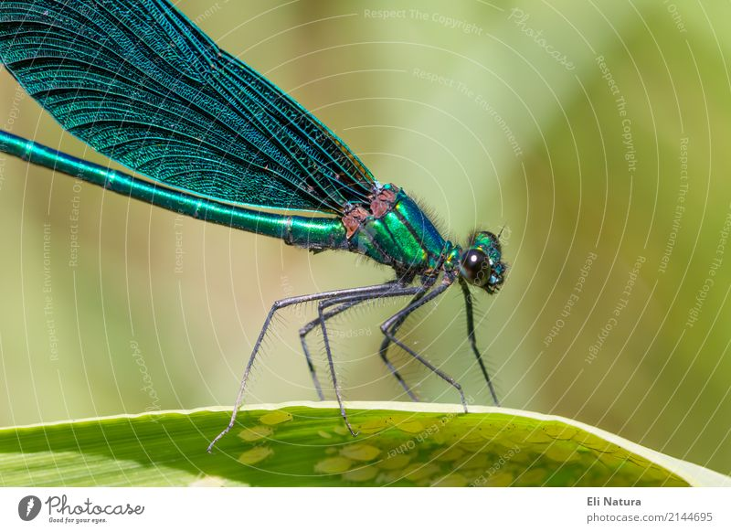 Libelle #3 Pflanze Blatt Garten Park Seeufer Flussufer Teich Bach Tier Wildtier Flügel 1 ästhetisch exotisch gigantisch klein nah blau gelb grün türkis schön