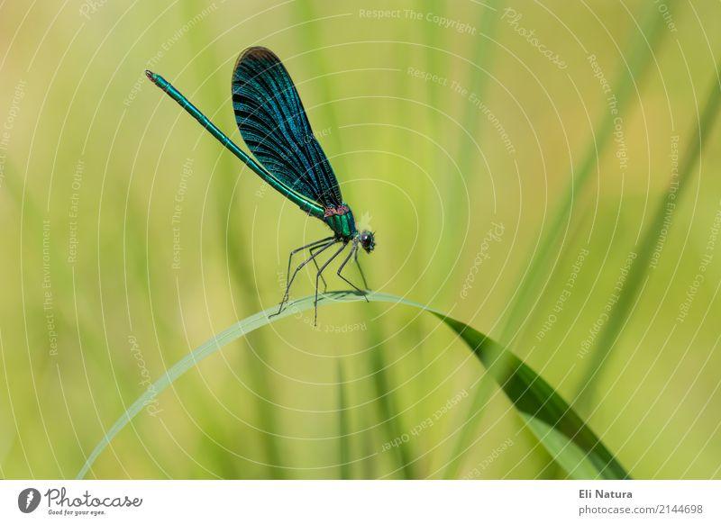 Libelle #1 Natur Pflanze blau Sommer schön grün Tier Blatt gelb Frühling Wiese Garten Park elegant ästhetisch Wildtier