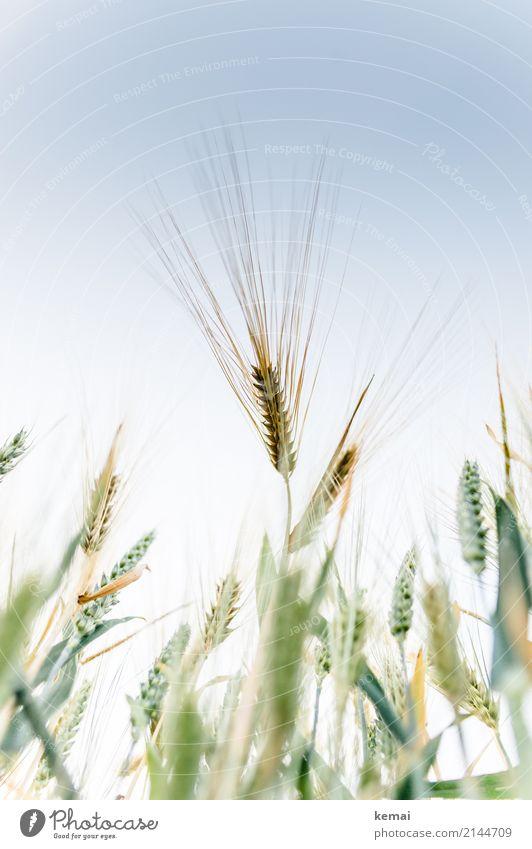 Ähre Leben harmonisch Sinnesorgane ruhig Freiheit Umwelt Natur Pflanze Wolkenloser Himmel Sommer Schönes Wetter Nutzpflanze Gerste Gerstenfeld Kornfeld Feld