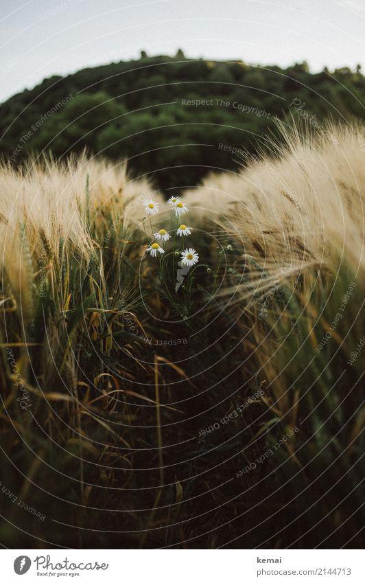 Kornfeld und Margeriten harmonisch Wohlgefühl Erholung ruhig Umwelt Natur Pflanze Wolkenloser Himmel Sommer Schönes Wetter Blüte Nutzpflanze Gerste Gerstenfeld