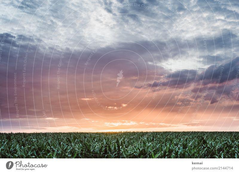 Summer field harmonisch ruhig Ferne Freiheit Umwelt Natur Landschaft Himmel Wolken Sonnenaufgang Sonnenuntergang Sommer Schönes Wetter Pflanze Nutzpflanze