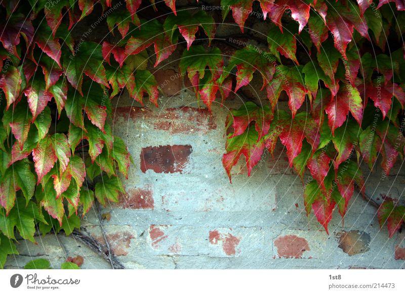 wein doch nicht Natur alt Pflanze rot Blatt Herbst Wand Mauer Umwelt Fassade Wachstum Backstein Putz Efeu Herbstlaub Grünpflanze