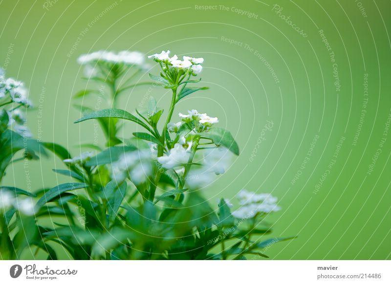 Green Something Natur weiß grün Pflanze Blüte Umwelt Blütenblatt Wildpflanze