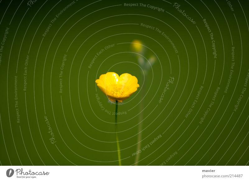 The Yellow Standalone Natur Pflanze Sommer Blüte Wildpflanze klein gelb grün Leben Farbfoto Außenaufnahme Menschenleer Tag Unschärfe Schwache Tiefenschärfe