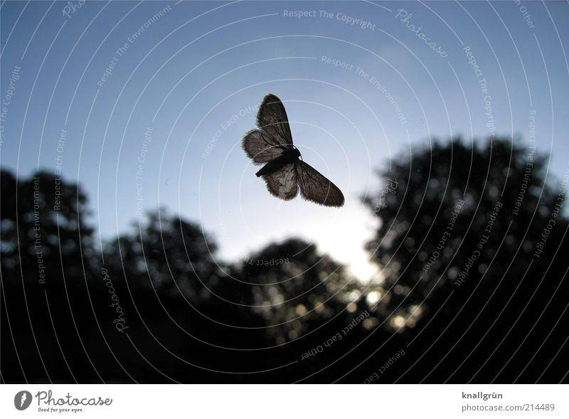 Flattermann Natur Himmel Baum blau Pflanze schwarz Tier dunkel hell Insekt Schmetterling fliegend Motte durchscheinend