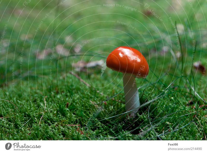 so trägt man Hüte Freizeit & Hobby Sommer Wachstum schön klein natürlich grün rot weiß Perspektive Farbfoto Außenaufnahme Textfreiraum links Pilz Pilzhut