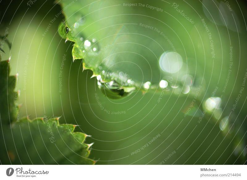 ZickeZacke Natur Wasser Wassertropfen Pflanze Wildpflanze leuchten frisch grün Tau Farbfoto Außenaufnahme Makroaufnahme Textfreiraum rechts Textfreiraum oben