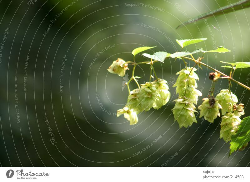 hopfen und malz verloren Pflanze Blatt Grünpflanze hängen grün Hopfen Hopfenblüte Farbfoto Außenaufnahme Textfreiraum links Sonnenlicht Schwache Tiefenschärfe