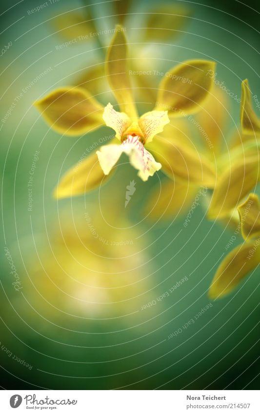 + Umwelt Natur Pflanze Frühling Sommer Klima Schönes Wetter Blume Orchidee Blatt Blüte exotisch Blühend Duft leuchten ästhetisch schön gelb Farbfoto
