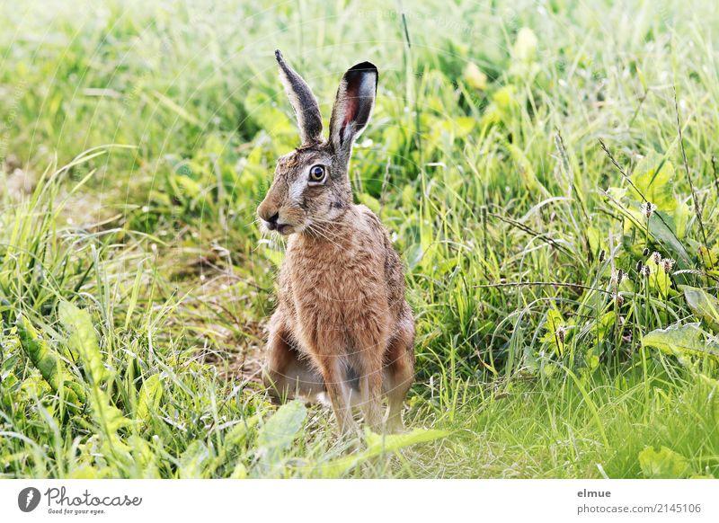 Sommerhasi Feld Wildtier Hase & Kaninchen Wildhase Ohr Fell Löffel beobachten hocken Kommunizieren sportlich kuschlig nah natürlich niedlich grün achtsam