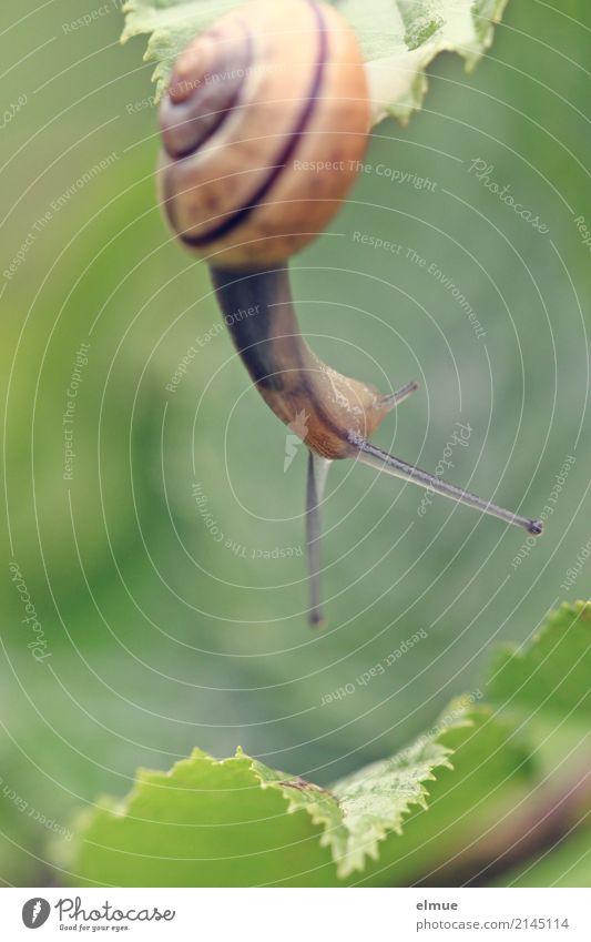 Hängepartie (1) Sommer Garten Wildtier Schnecke Gartenschnecke Weichtier Schneckenhaus Fühler Bewegung hängen sportlich elegant klein natürlich schleimig