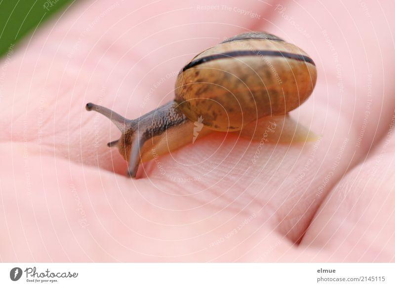 Rutschpartie Wildtier Schnecke Gartenschnecke Fühler klein nah dünn schleimig Geschwindigkeit Willensstärke Tatkraft Tierliebe Gelassenheit geduldig Trägheit