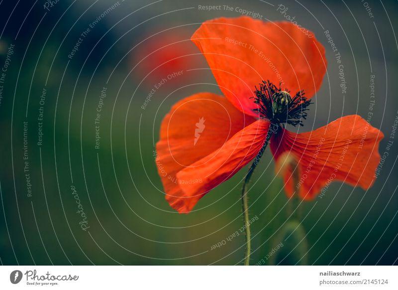 Mohn Natur Pflanze Sommer Farbe schön grün Blume rot Umwelt Blüte Frühling Hintergrundbild natürlich springen Wachstum Idylle