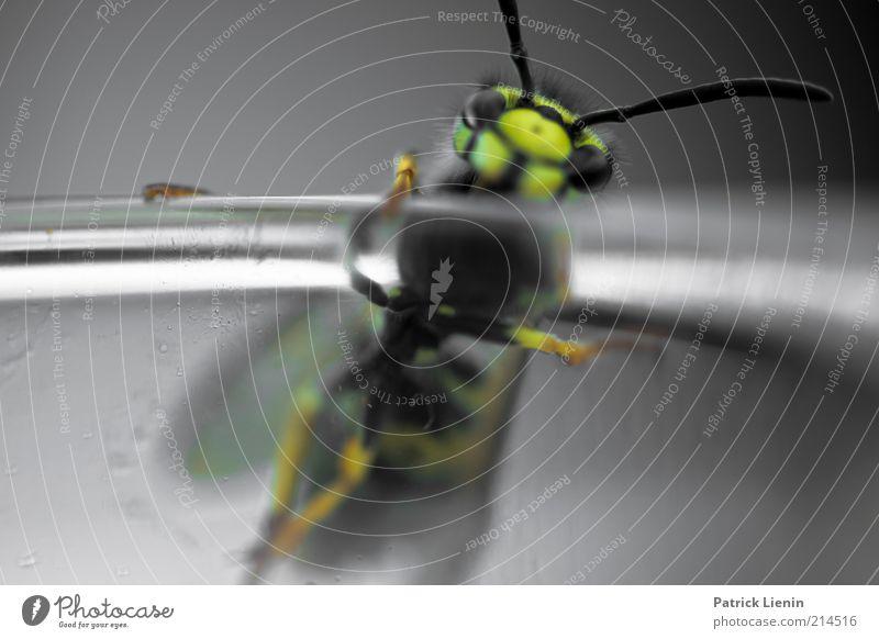 thirsty wasp Umwelt Natur Tier Wildtier Tiergesicht Flügel 1 festhalten hocken krabbeln Blick außergewöhnlich Wespen Farbfoto Außenaufnahme Detailaufnahme