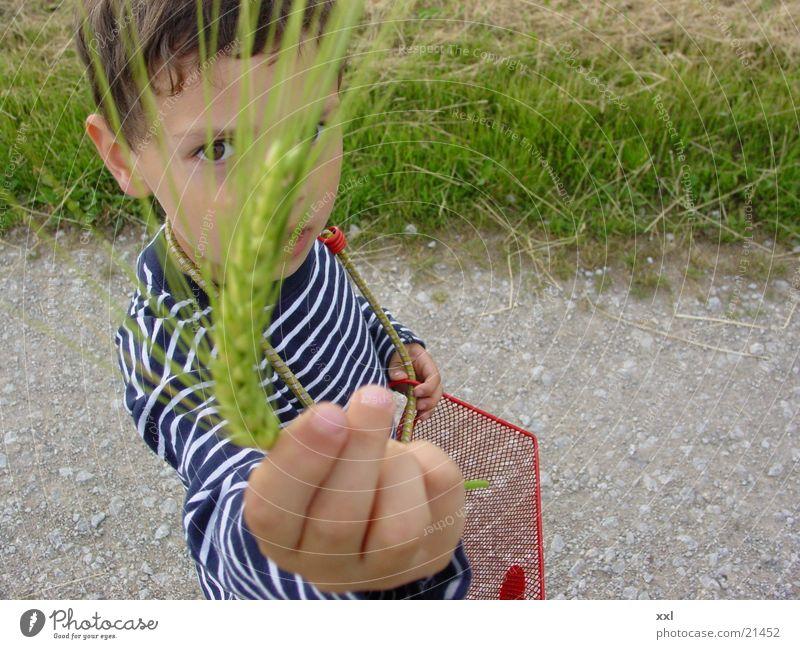 getreide Ähren Getreide Korn