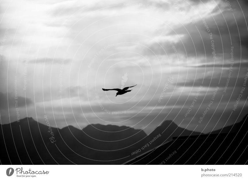 freedom flyer Umwelt Tier Luft Himmel Wolken Sonnenlicht Wetter Berge u. Gebirge Wildtier Möwe Vogel 1 fliegen frei Stimmung Neugier Bewegung Einsamkeit