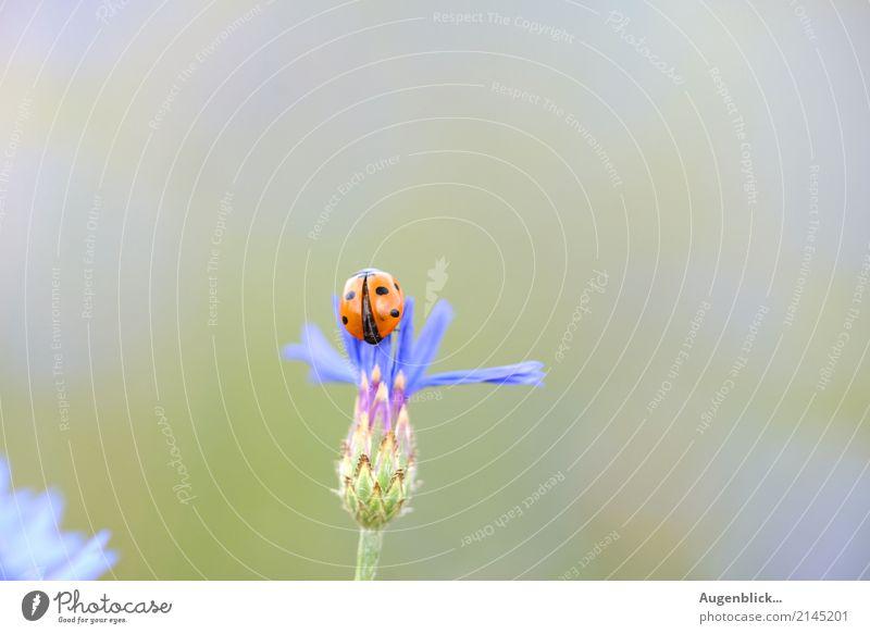 Abflug in drei...zwei...eins... Marienkäfer Käfer rot grün Makroaufnahme krabbeln Glück Sommer Natur Punkt Außenaufnahme Glücksbringer klein Farbfoto Blatt
