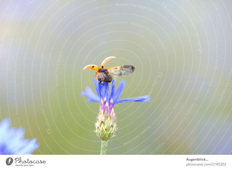 Abflug in drei...zwei...eins... Marienkäfer Käfer rot Makroaufnahme grün Farbfoto krabbeln Außenaufnahme Natur Glück Sommer Menschenleer