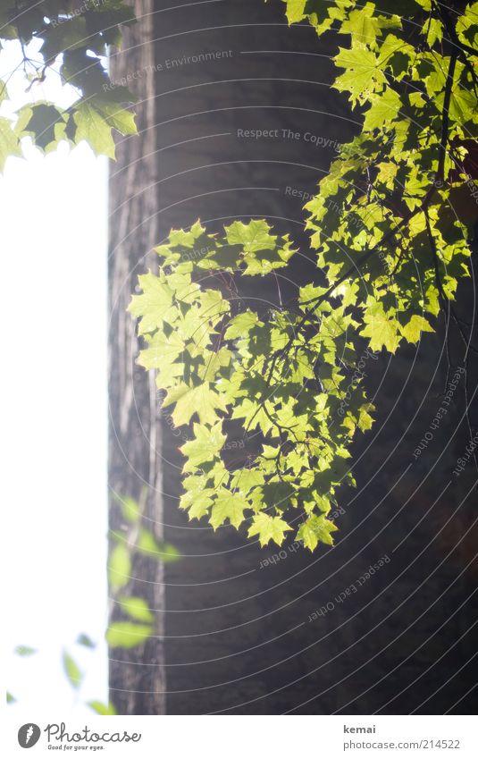 Sonnen-Erinnerung Natur Baum grün Pflanze Sommer Blatt Wand Mauer Gebäude Wärme hell Umwelt Turm Klima Ast leuchten